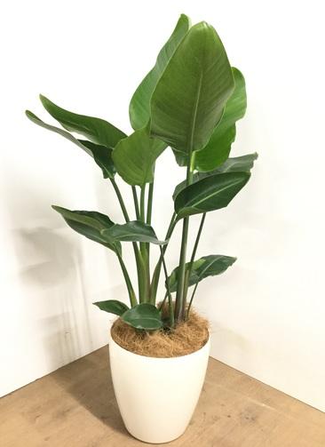 観葉植物 【130cm】 オーガスタ 8号 #22950