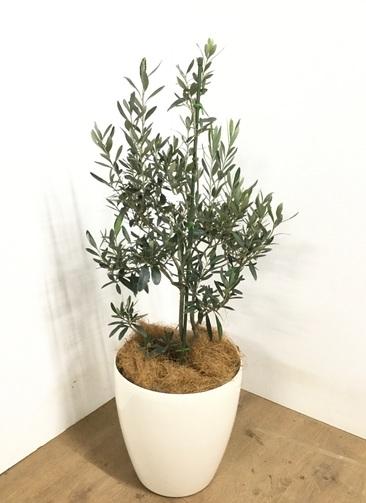 観葉植物 【105cm】 オリーブの木  8号 チプレッシーノ #22951