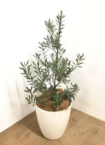観葉植物 【110cm】 オリーブの木  8号 チプレッシーノ #22953