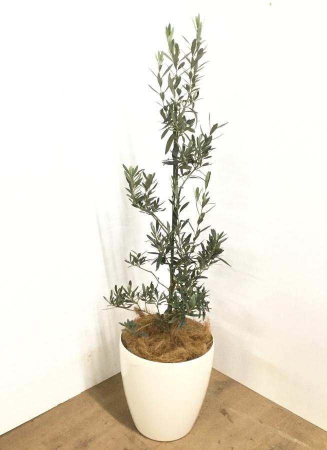 観葉植物 【125cm】 オリーブの木  8号 チプレッシーノ #22954