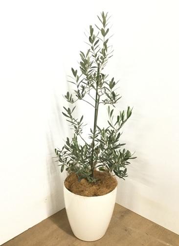 観葉植物 【120cm】 オリーブの木  8号 チプレッシーノ #22955