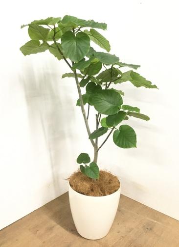 観葉植物 【115cm】 フィカス ウンベラータ 8号 #22959