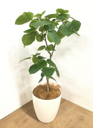 観葉植物 【110cm】 フィカス ウンベラータ 8号 #22960