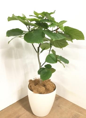 観葉植物 【105cm】 フィカス ウンベラータ 8号 #22962