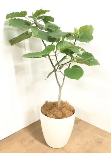 観葉植物 【110cm】 フィカス ウンベラータ 8号 #22963
