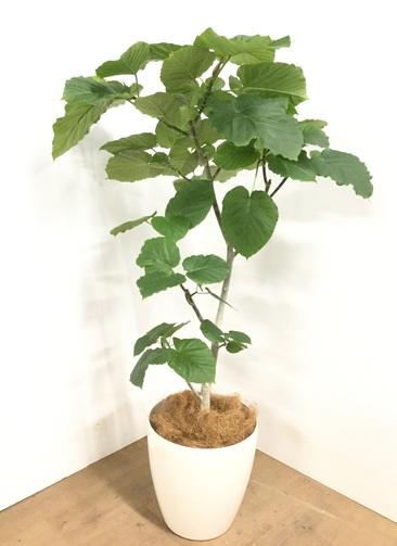 観葉植物 【125cm】 フィカス ウンベラータ 8号 #22964