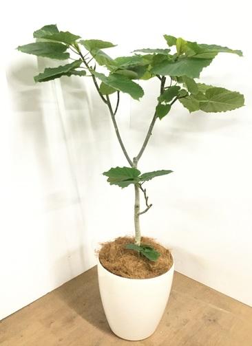 観葉植物 【115cm】 フィカス ウンベラータ 8号 #22965