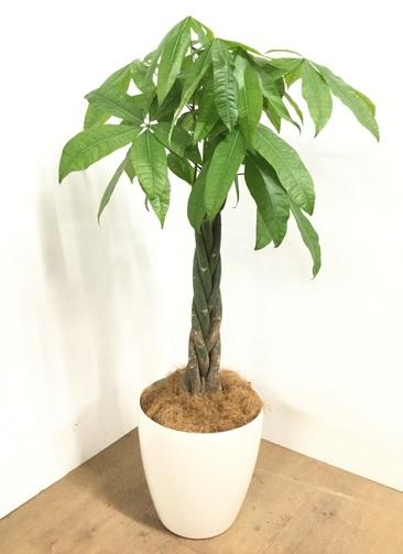 観葉植物 【115cm】 パキラ 8号 #22966