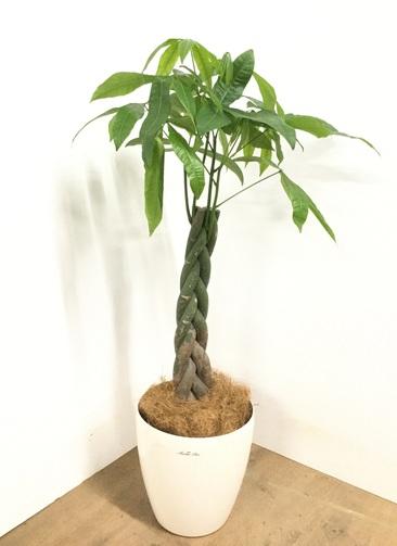 観葉植物 【115cm】 パキラ 8号 #22968