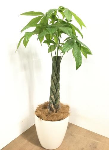 観葉植物 【115cm】 パキラ 8号 #22969