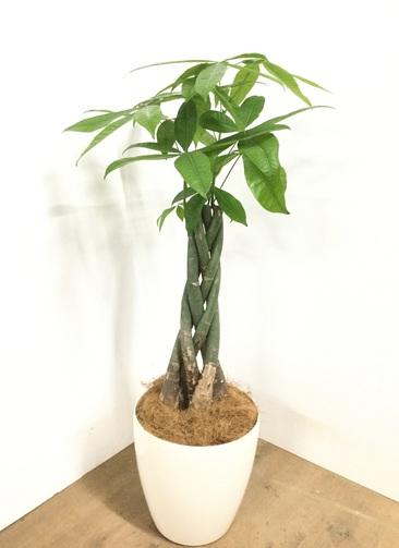観葉植物 【110cm】 パキラ 8号 #22970