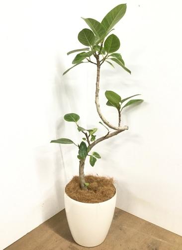 観葉植物 【125cm】 フィカス アルテシーマ 8号 #22971