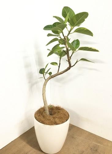 観葉植物 【115cm】 フィカス アルテシーマ 8号 #22972