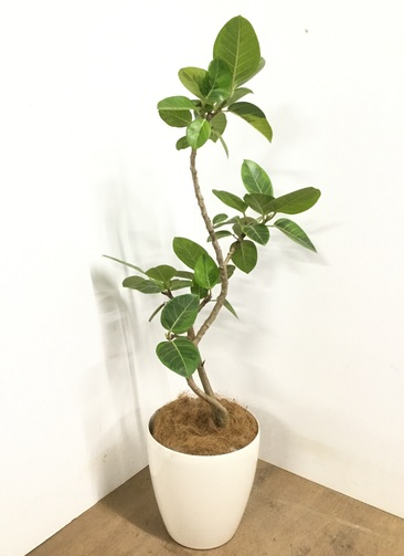 観葉植物 【125cm】 フィカス アルテシーマ 8号 #22973