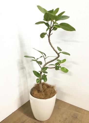 観葉植物 【115cm】 フィカス アルテシーマ 8号 #22974