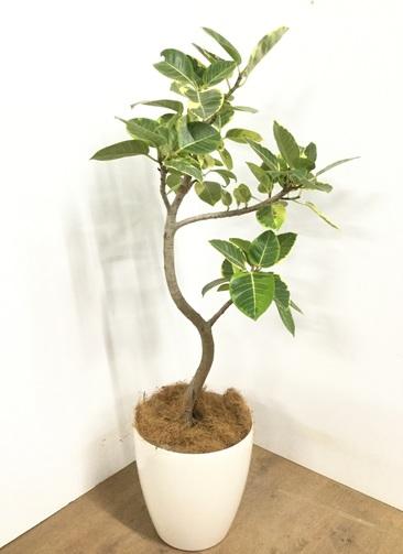 観葉植物 【125cm】 フィカス アルテシーマ 8号 #22975