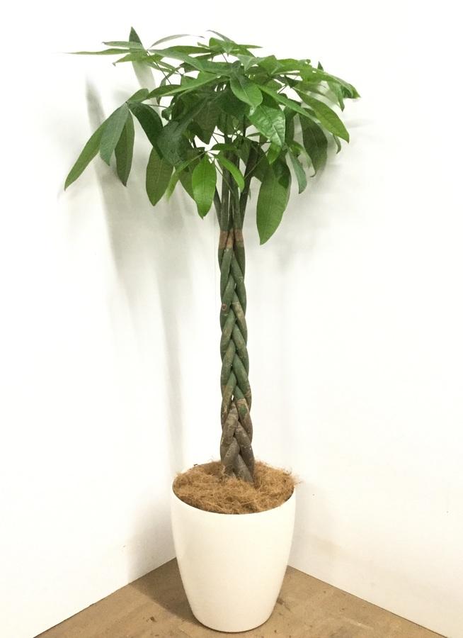 観葉植物 【160cm】パキラ 10号 #22976
