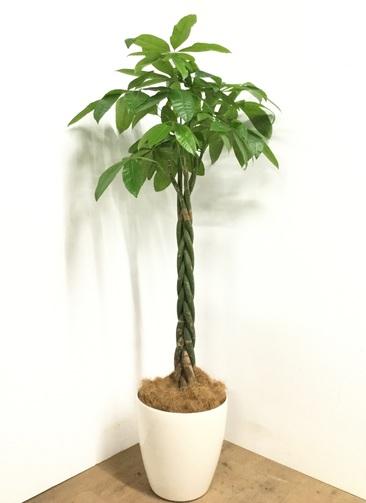 観葉植物 【165cm】パキラ 10号 #22977