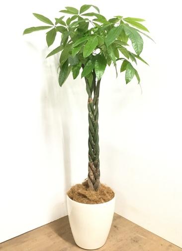 観葉植物 【170cm】パキラ 10号 #22979