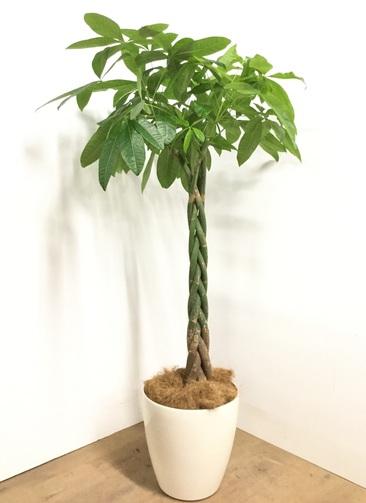 観葉植物 【165cm】パキラ 10号 #22980