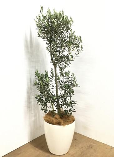 観葉植物 【160cm】オリーブ チプレッシーノ 10号 #22981