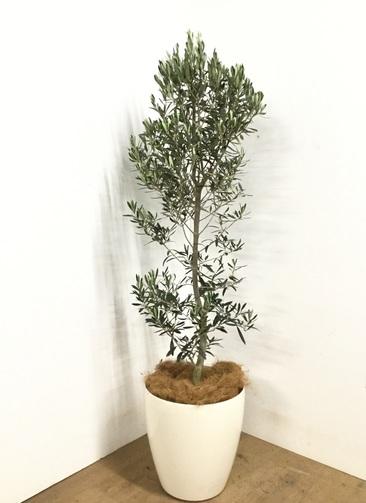 観葉植物 【160cm】オリーブ 10号 #22982