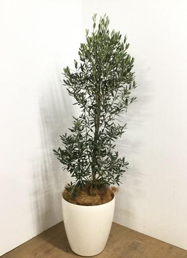 観葉植物 【160cm】オリーブ チプレッシーノ 10号 #22983