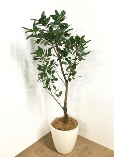観葉植物 【175cm】フィカス ジャンボリーフ 9号 #22985