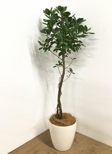 観葉植物 【145cm】フィカス ジャンボリーフ 8号 #22986