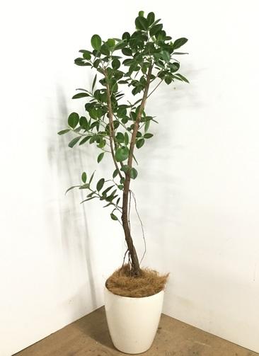 観葉植物 【155cm】フィカス ジャンボリーフ 8号 #22987