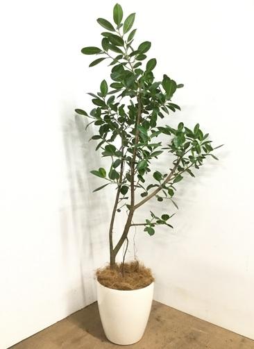 観葉植物 【155cm】フィカス ジャンボリーフ 8号 #22988