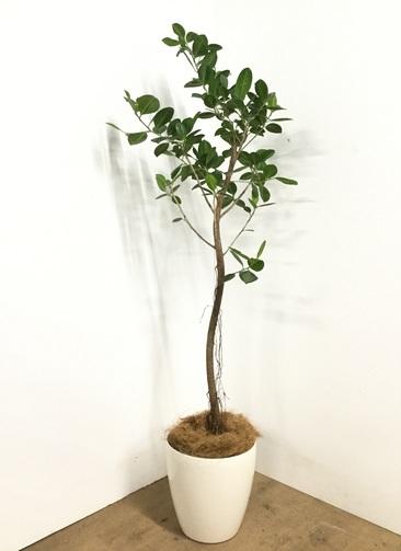観葉植物 【160cm】フィカス ジャンボリーフ 8号 #22989