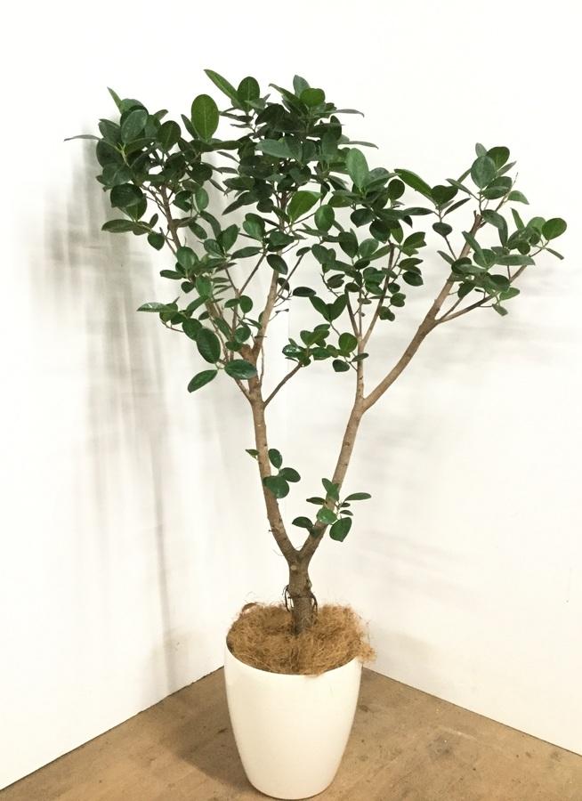 観葉植物 【155cm】フィカス ジャンボリーフ 8号 #22990