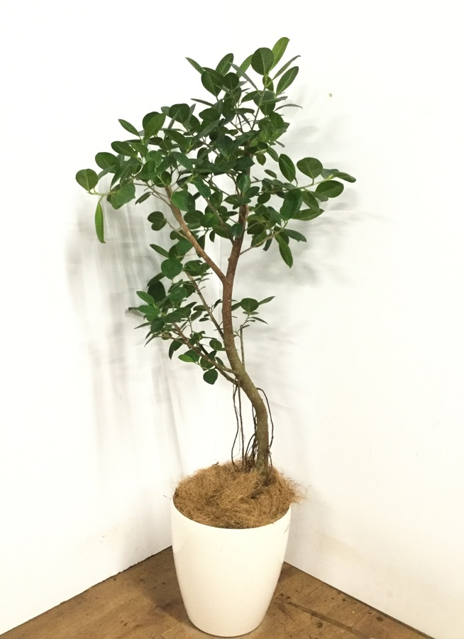 観葉植物 【140cm】フィカス ジャンボリーフ 8号 #22991