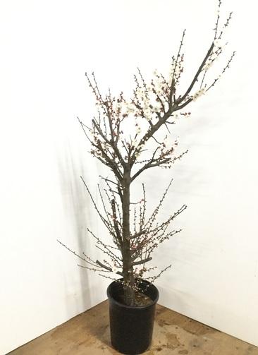 観葉植物 【155cm】梅 玉牡丹 8号 #22992