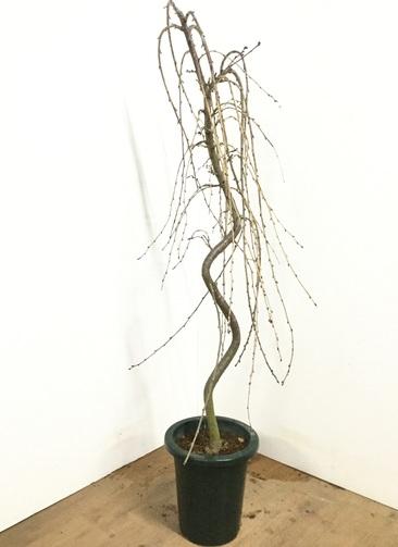 観葉植物 【155cm】八重咲き枝垂れ桜 8号 #22993