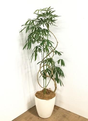 観葉植物 【185cm】シェフレラ アンガスティフォリア 10号 #22994 ※1都3県配送限定商品
