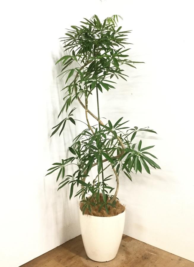 観葉植物 【185cm】シェフレラ アンガスティフォリア 10号 #22995 ※1都3県配送限定商品