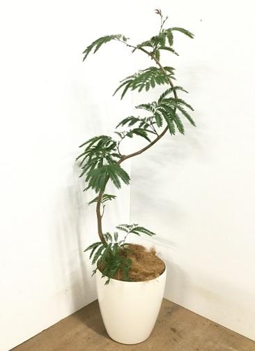 観葉植物 【130cm】 エバーフレッシュ 8号 #23001