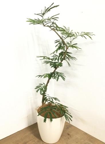 観葉植物 【135cm】 エバーフレッシュ 8号 #23002