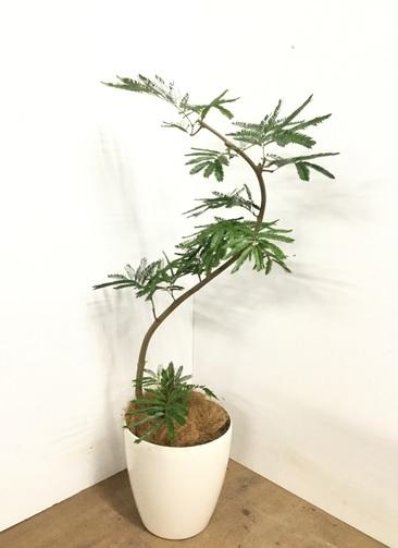 観葉植物 【120cm】 エバーフレッシュ 8号 #23003