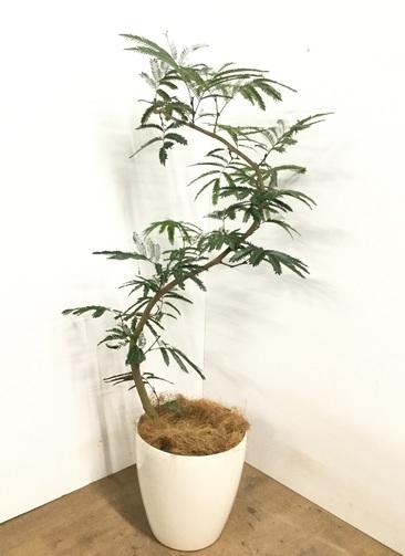 観葉植物 【130cm】 エバーフレッシュ 8号 #23004