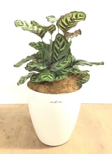 観葉植物 【60cm】 カラテア マコヤナ 7号 #23006
