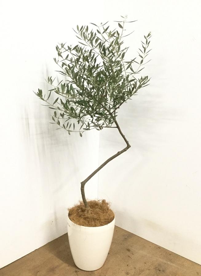 観葉植物 【135cm】 オリーブの木 7号 創樹 #23007