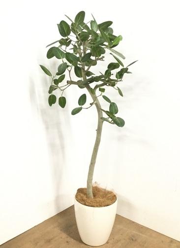 観葉植物 【145cm】 フィカス ベンガレンシス 8号 #23008