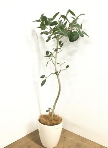 観葉植物 【160cm】 フィカス ベンガレンシス 8号 #23009