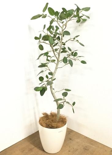 観葉植物 【150cm】 フィカス ベンガレンシス 8号 #23010