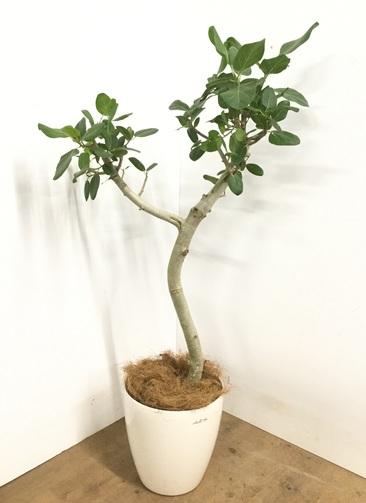 観葉植物 【135cm】 フィカス ベンガレンシス 8号 #23011