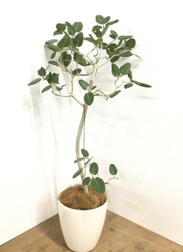 観葉植物 【140cm】 フィカス ベンガレンシス 8号 #23012