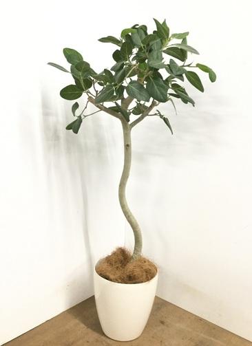 観葉植物 【135cm】 フィカス ベンガレンシス 8号 #23013